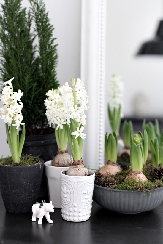 spring bulbs,hyacinths,christmas,decorations