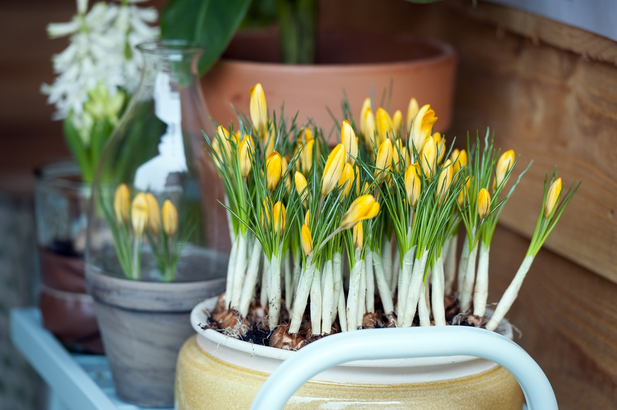 Potted spring bulbs bring much needed colour and interest to the spring garden