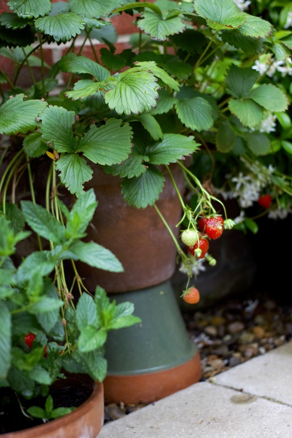 Watching My Garden Slowly But Surely Grow - so many strawberries I'm eating a bowl a day