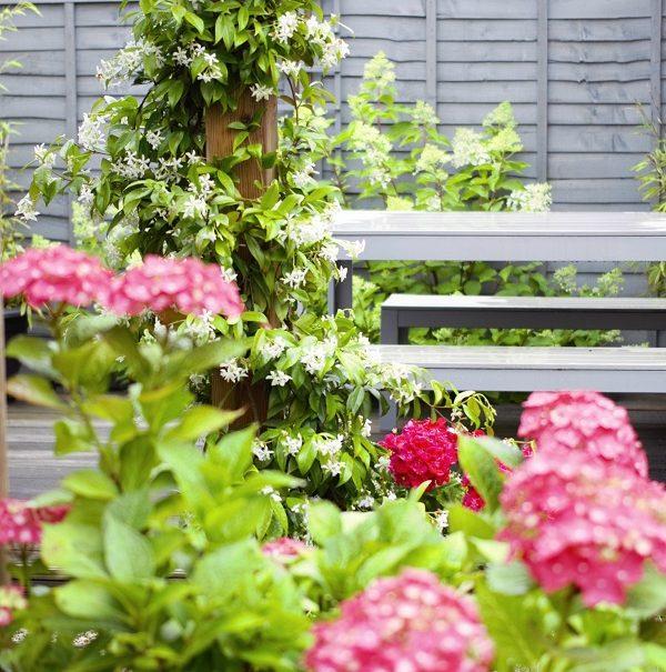 Watching My Garden Slowly But Surely Grow - jasmine climbing up the pergola