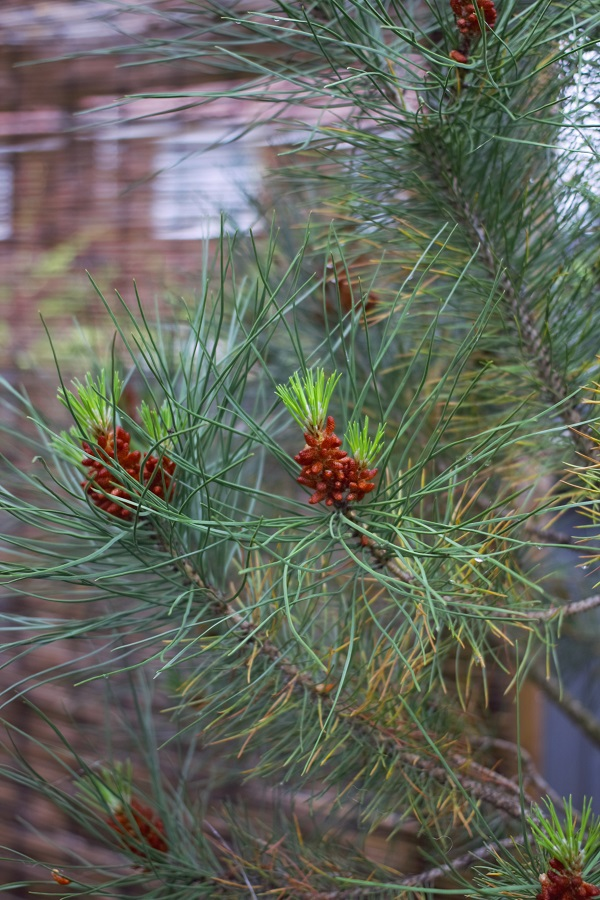 Watching My Garden Slowly But Surely Grow - does anyone know this conifer?