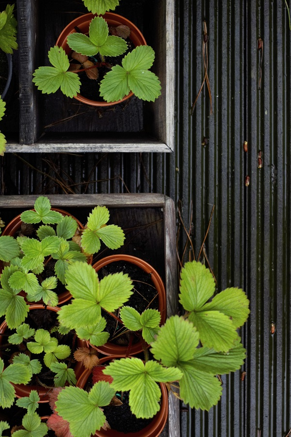 Watching My Garden Slowly But Surely Grow - next years strawberries