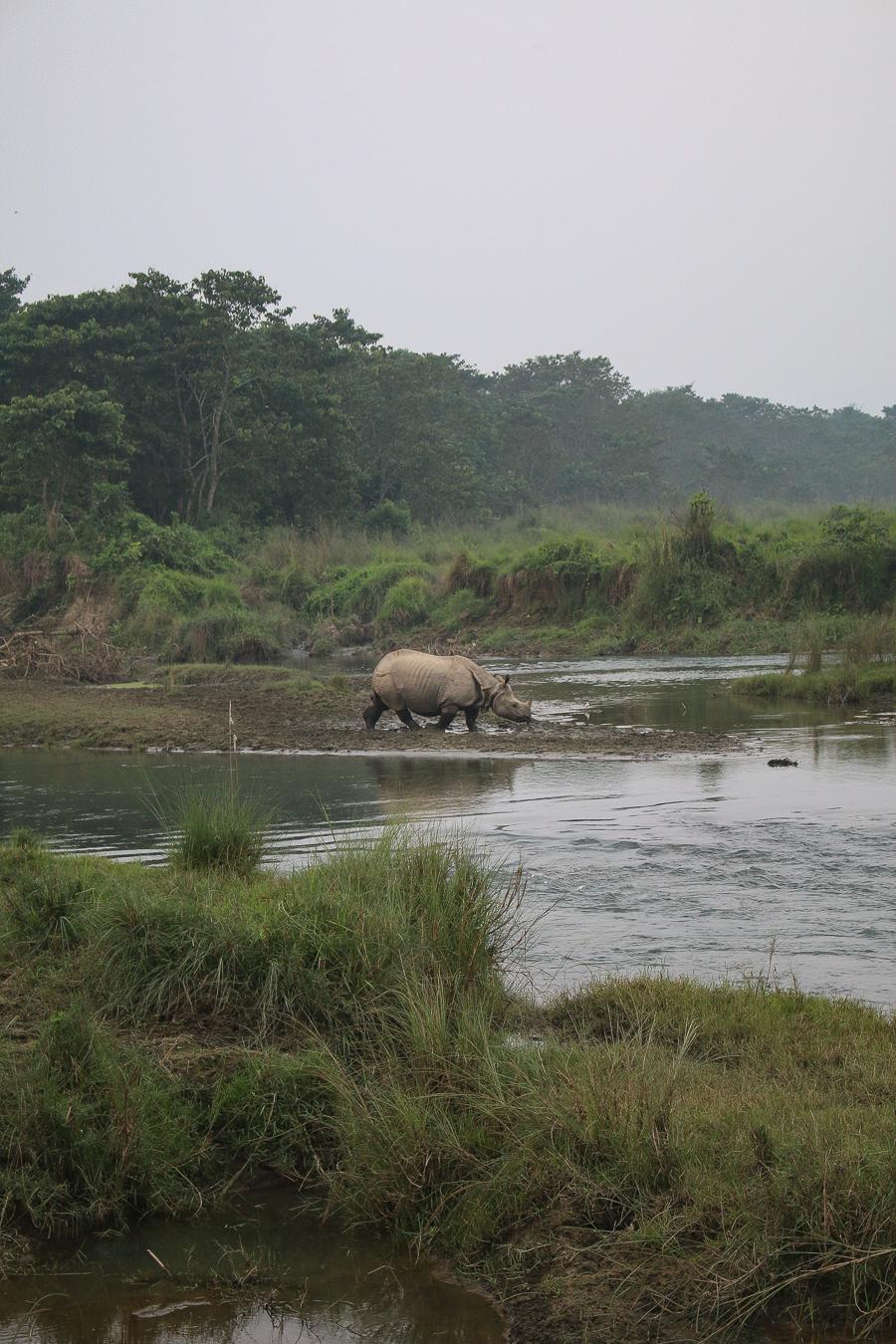 Chitwan National Park Rhino, Nepal